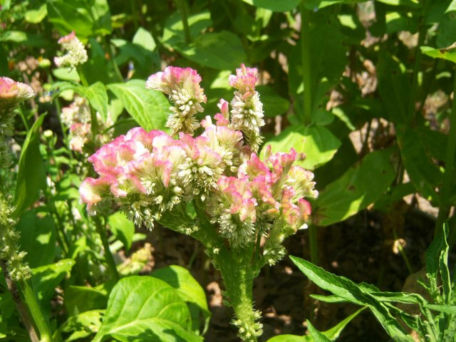 Celosia 'Bombay Pink' on 7-1-12, #104-10.