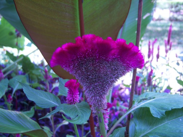 Celosia argentea 'Heirloom Giant Burgundy' on 7-19-12, #111-5.