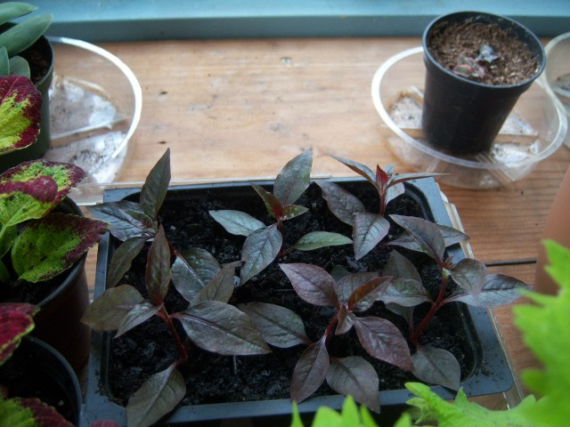 Alternanthera brasiliana 'Purple Knight' cuttings on 10-8-12 (#120-1)