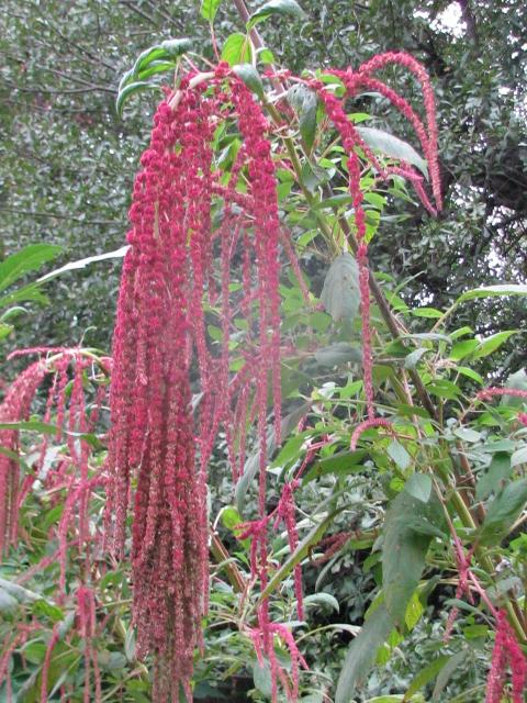 Amaranthus caudatus 'Love Lies Bleeding' on 9-22-09. #39-8.