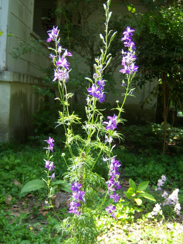 Consolida ajacis, Giant Larkspur, in the bed behind the den on 5-10-10, #55-33.