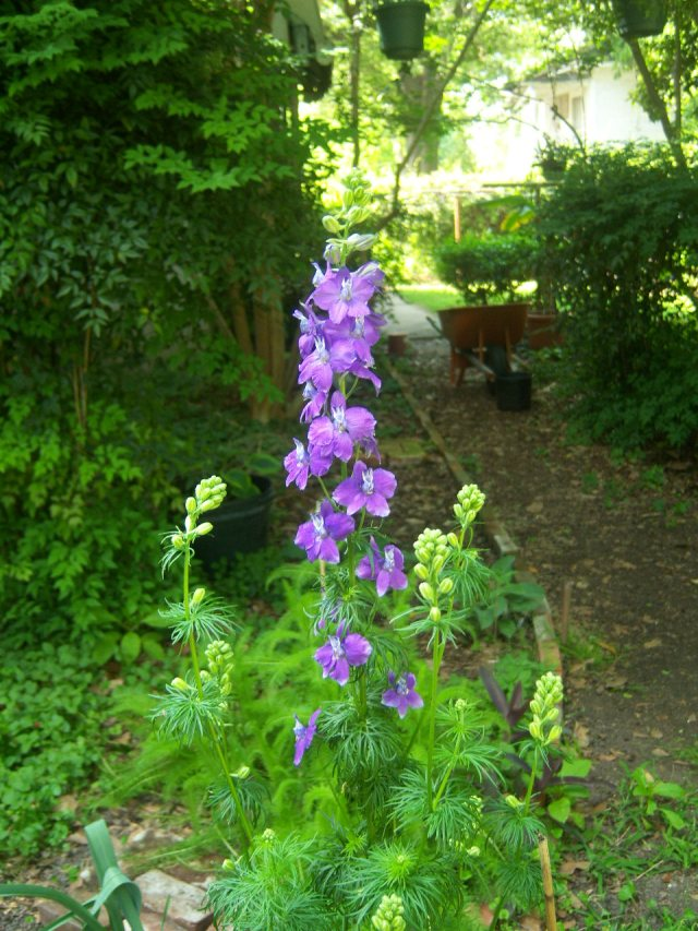 Consolida ambigua, Giant Larkspur, behind the den of the mansion in Mississippi on 4-15-12, #86-53.