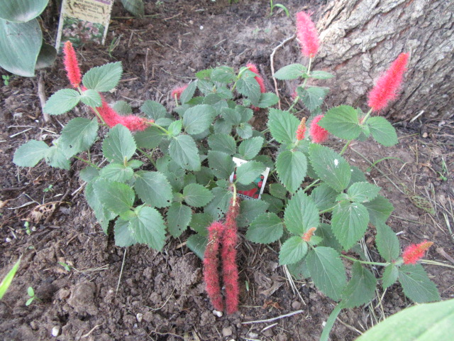 Acalypha Pendula Chenile Plant Chenille Firetail Etc The Belmont