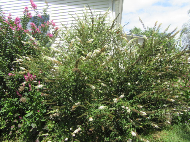 Buddleja Davidii White Profusion Butterfly Bush 171 The