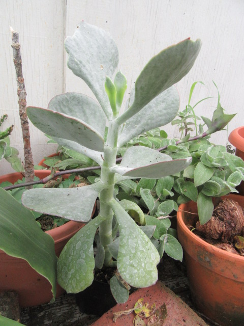 cotyledon orbiculata silver storm pig s ear etc the belmont