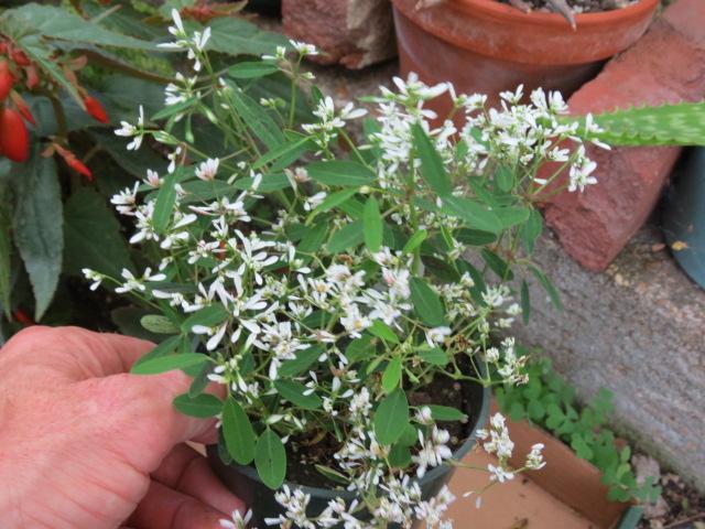 Euphorbia Hypericifolia Starblast White The Belmont Rooster