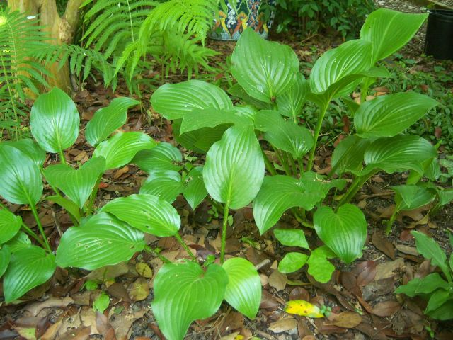 Hosta Information And Sources The Belmont Rooster