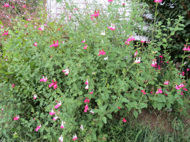 Salvia Microphylla Hot Lips Little Leaf Sage The Belmont Rooster