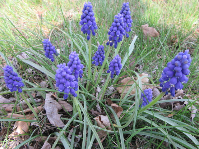 67735ec33 We have a lot of Grape Hyacinths (Muscari armeniacum) in both yards and  some in the ditch. They have had a lot of difficulty growing and flowering  this ...